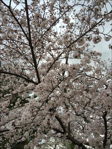 2016 04 桜2