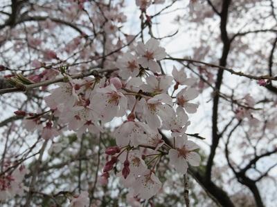 IMG_3441 桜