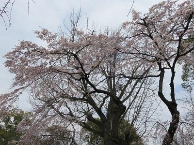 IMG_3442 桜