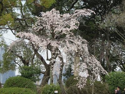 IMG_3556 桜