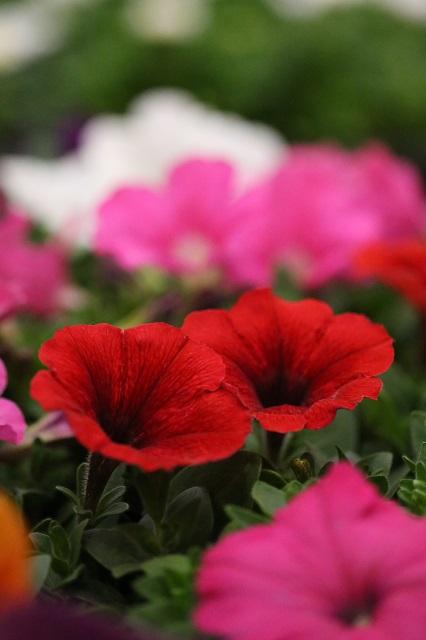 夏の花 ペチュニア