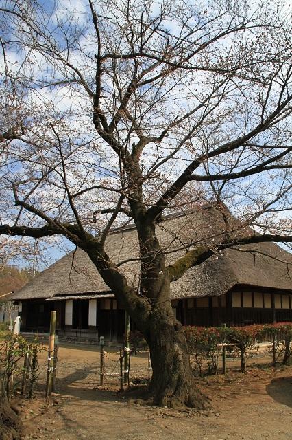 民俗資料館(旧和田家)の桜
