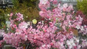 花カイドウb