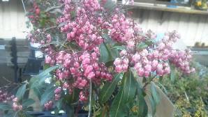 紅花アセビb