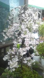 枝垂れ桜b