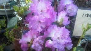 八重咲き玄海ツツジb