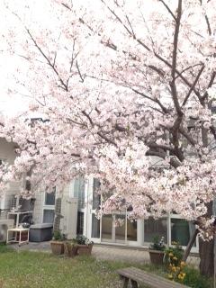 H28満開の桜①