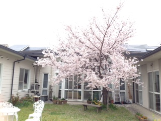 H28満開の桜②