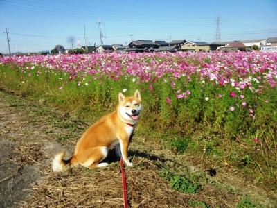 ハナ笑顔コスモス畑