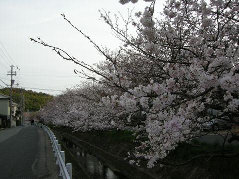 160402sakura07.jpg
