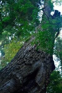 樹齢350年のアベマキ