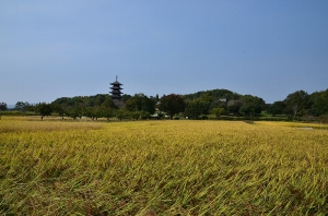 収穫期を迎えた田んぼと国分寺五重の塔