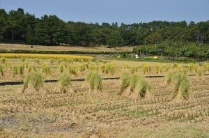 稲わらの干してある田んぼ
