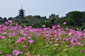 コスモスの花と国分寺五重の塔