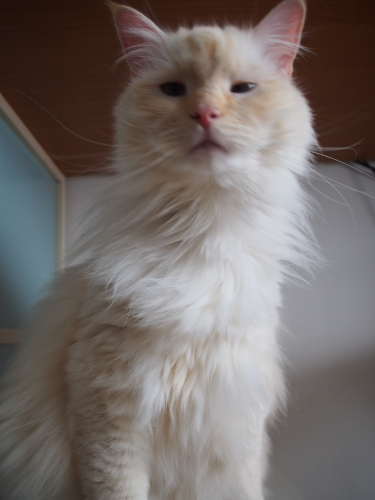 ほっそり白玉猫1