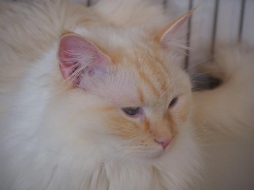 ほっそり白玉猫3