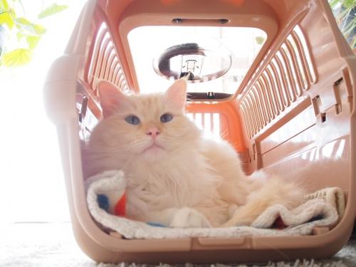 白玉猫‗ネコベット