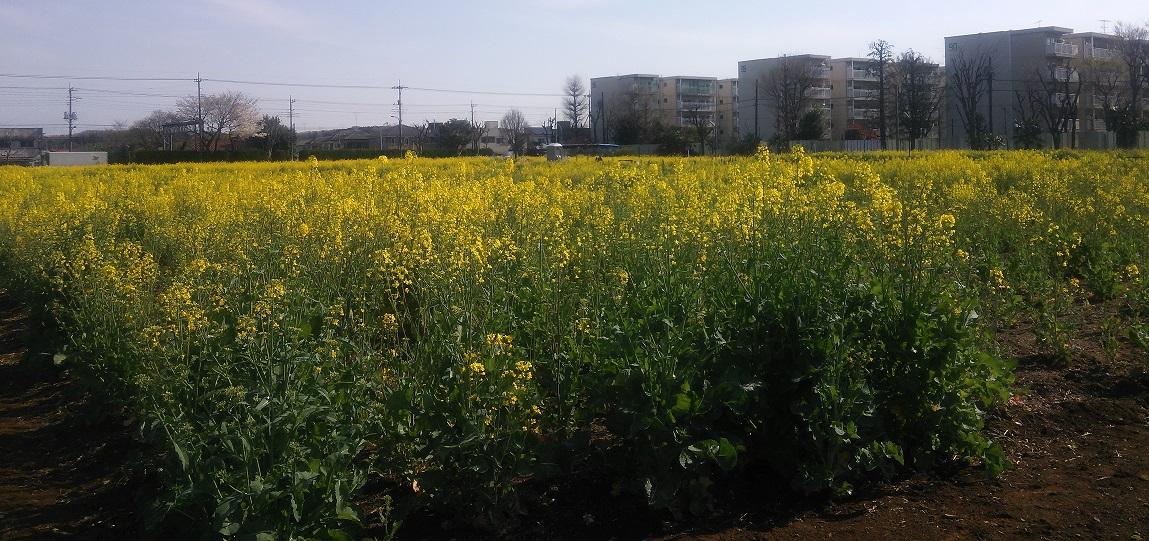 ④武蔵村山団地の菜の花