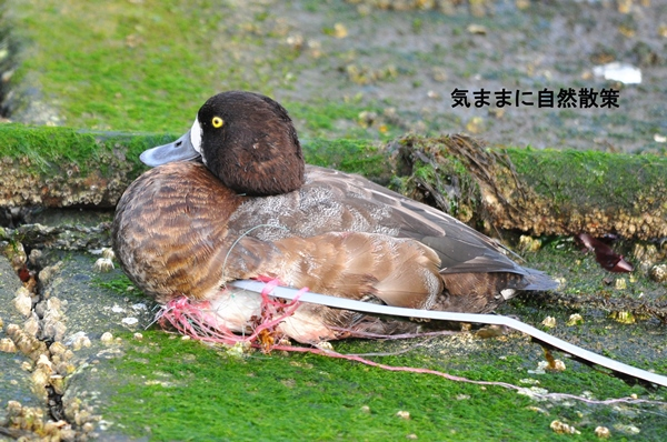 傷病鳥 (3)