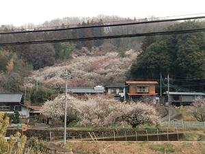 梅に埋もれた集落