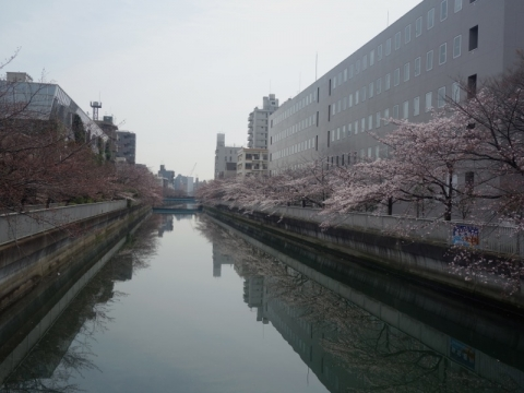 仙台堀川は今三分咲きくらいです