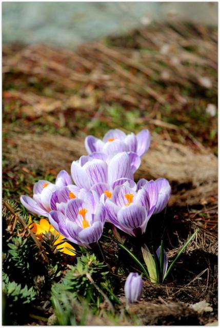 青森県 弘前市 花の写真 クロッカス
