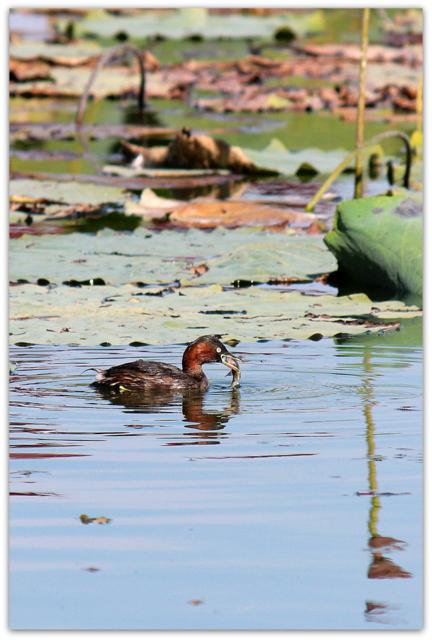 青森県 平川市 猿賀神社 猿賀公園 野鳥 鳥 写真 カイツブリ 秋 水鳥