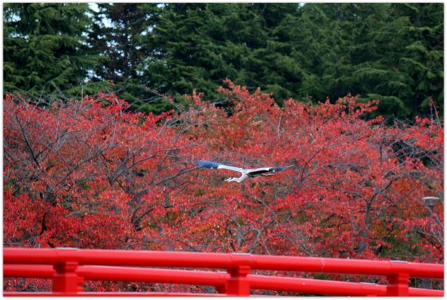 青森県 平川市 猿賀公園 猿賀神社 野鳥 写真 アオサギ 青鷺 あおさぎ