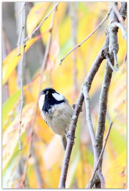 シジュウカラ 野鳥 鳥 写真 青森県 平川市 猿賀神社 猿賀公園