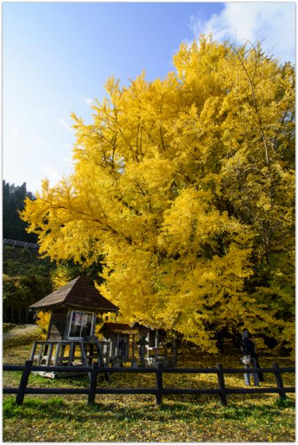 青森県 深浦町 北金ヶ沢 日本一の大イチョウ 日本最大の大銀杏 観光 名所