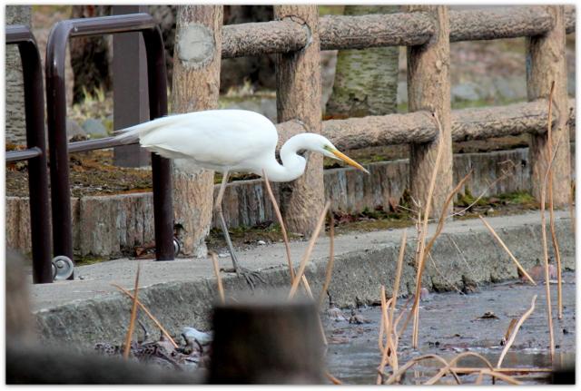 青森県 平川市 野鳥 鳥の写真 猿賀神社 猿賀公園 白鷺 サギ 鷺 ダイサギ