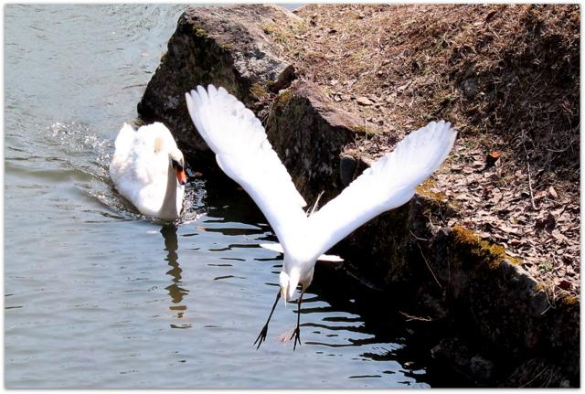 青森県 弘前市 弘前城 弘前公園 野鳥 ダイサギ 白鷺 コブハクチョウ 白鳥
