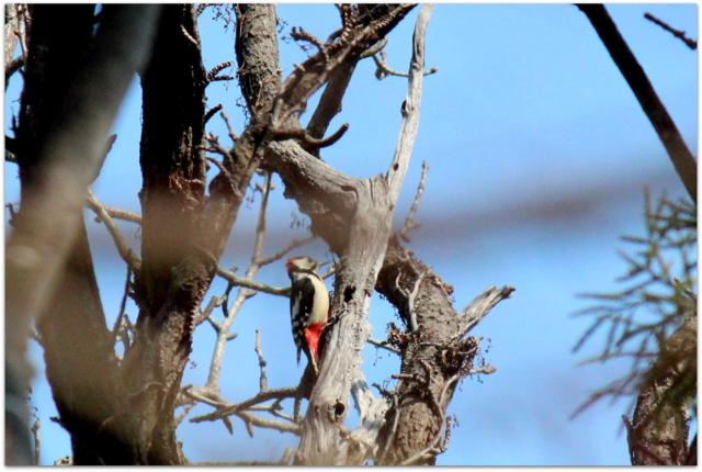 青森県 弘前市 弘前公園 野鳥 鳥 写真 アカゲラ キツツキ