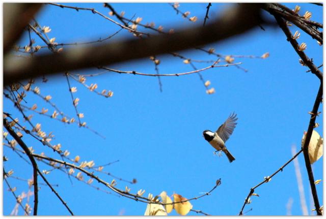 青森県 弘前市 弘前公園 野鳥 シジュウカラ 鳥 写真