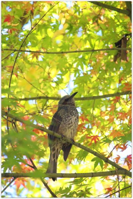 青森県 弘前市 弘前公園 野鳥 ヒヨドリ 鳥 写真