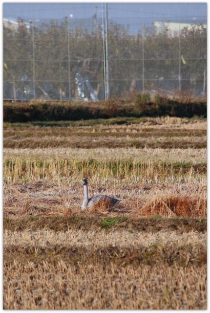 青森県 弘前市 白鳥 野鳥 田んぼ 冬の使者 渡り鳥