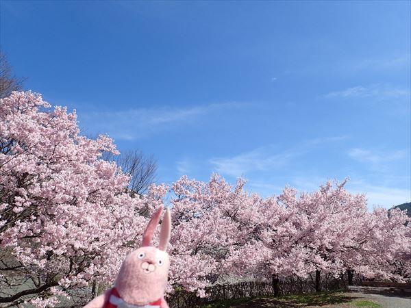 高遠湖の桜