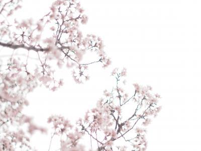 桜を見た日