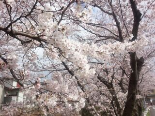 桜 午後2