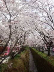 桜 午後1
