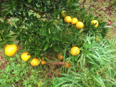 11.14色づく柑橘