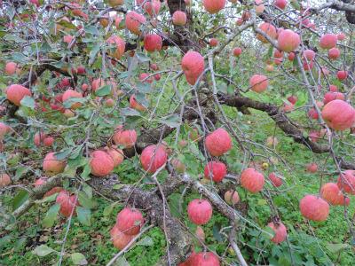 11.21リンゴ2