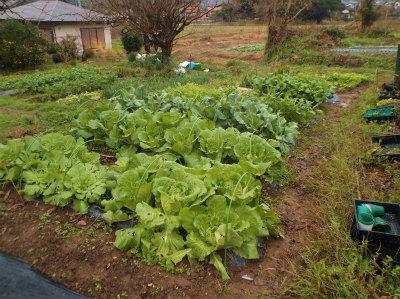 11.29畑の野菜
