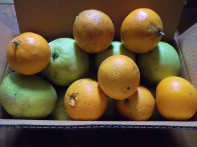 12.1柑橘類熟成中