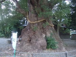 須賀神社のクス_H22.11.16撮影