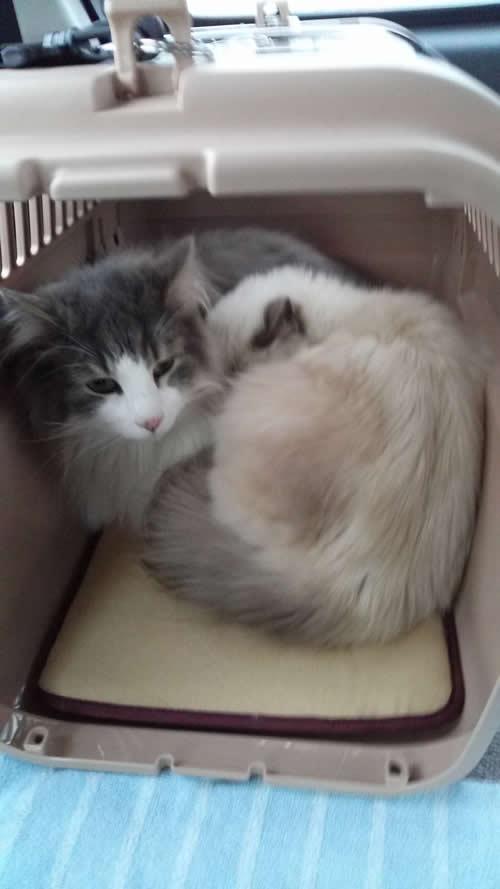 幸運を運ぶバーマン 子猫☆マーニちゃん M