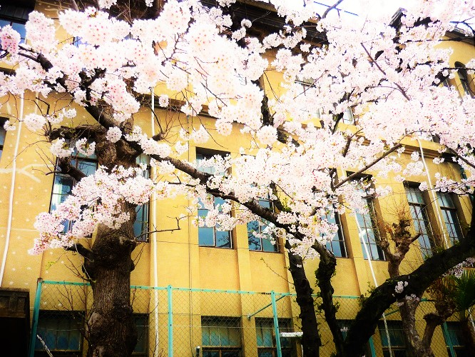 2016桜咲く-その7
