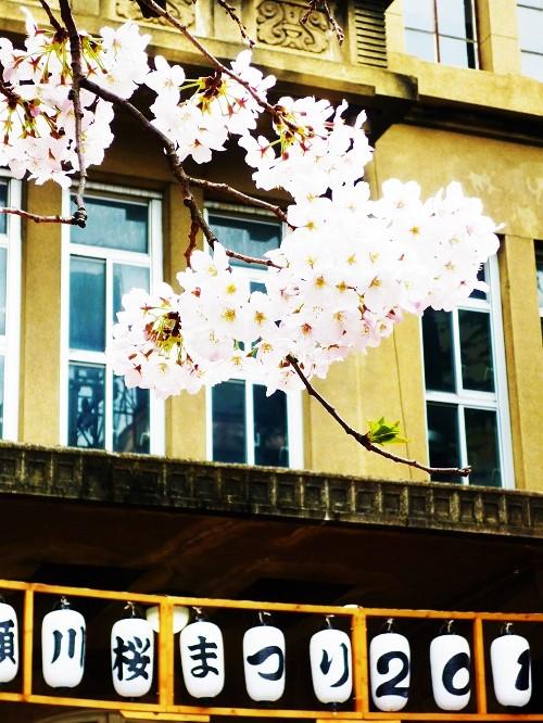 2016桜咲く-その8