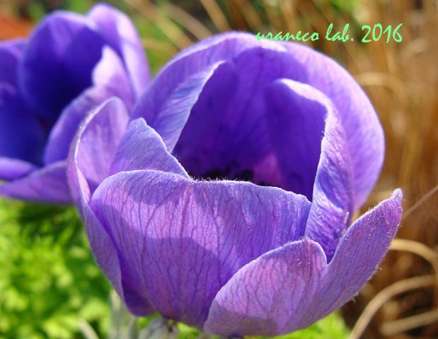 3月15日アネモネ紫