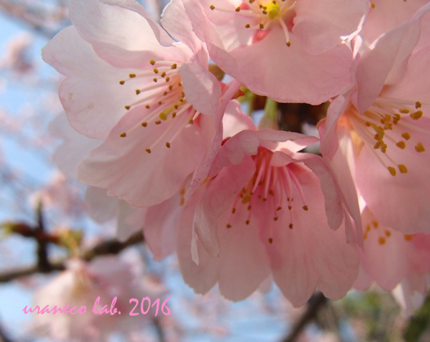 3月15日寒桜